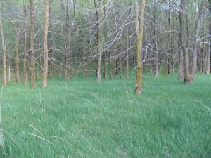 Grassy woods