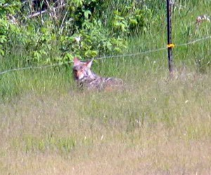 Coyote laying down