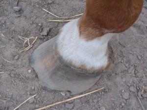 Cracked horse hoof