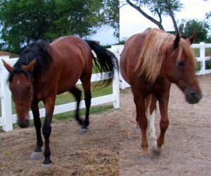 Horses showing summer stress
