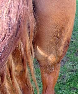 horse rump