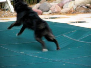 dog on pool cover