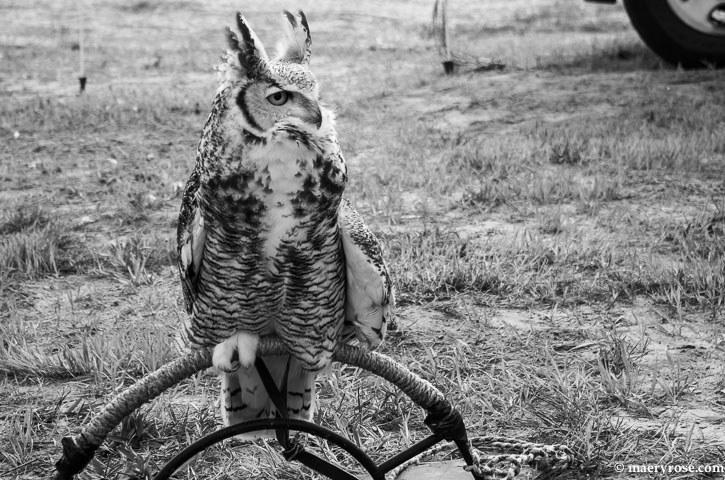 Great Horned Owl from  from U of M Raptor Center