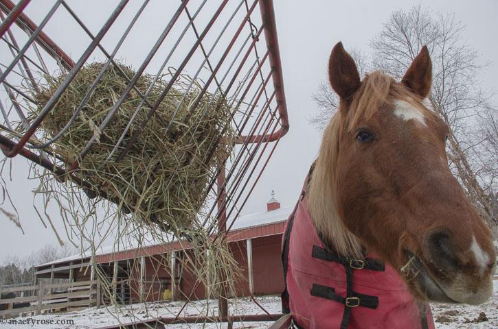 horse eating hay