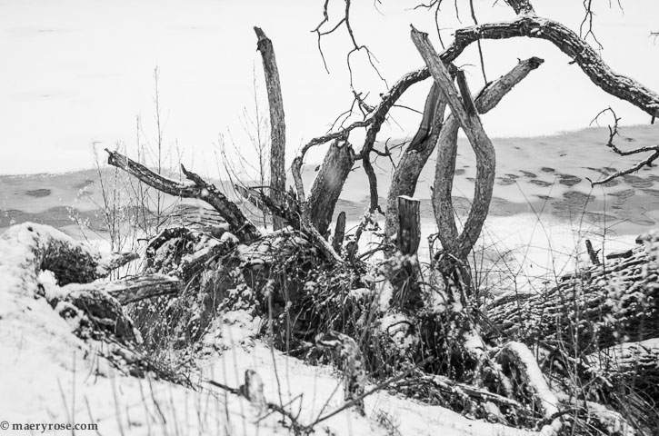 downed tree in snow
