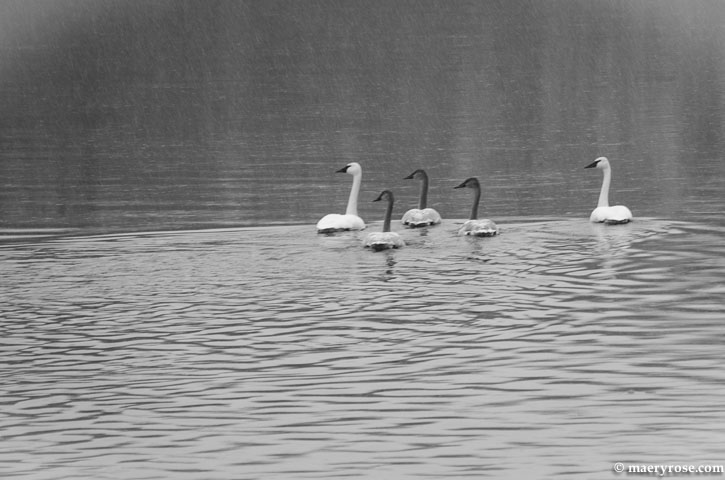 swans on Mississippi River
