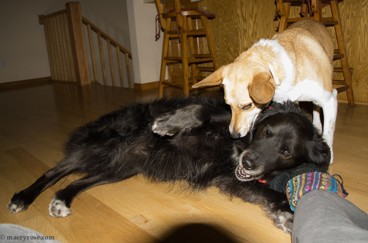 dogs playing indoors