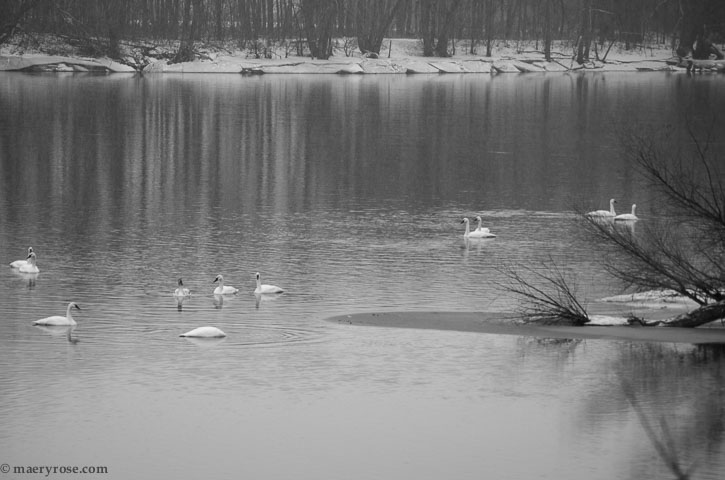 Swans on Mississippi River