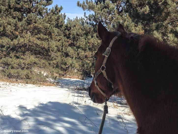 horse in the pine trees