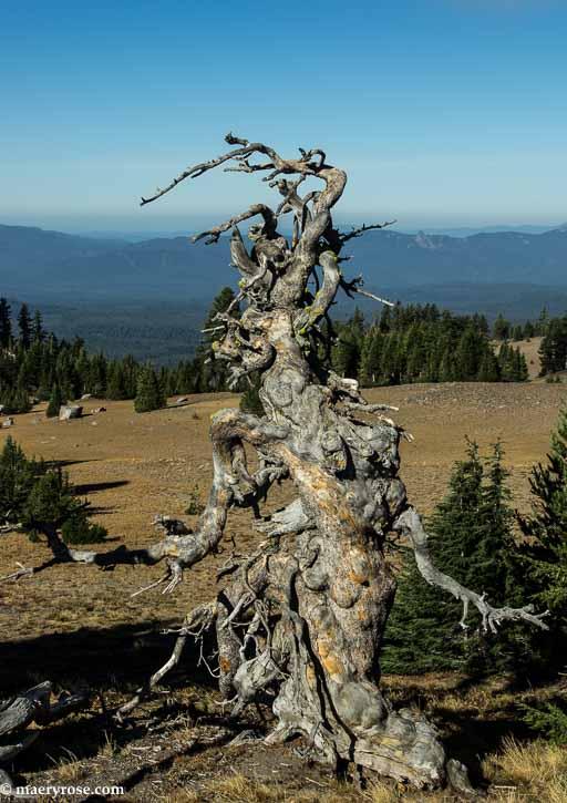 tree that looks human