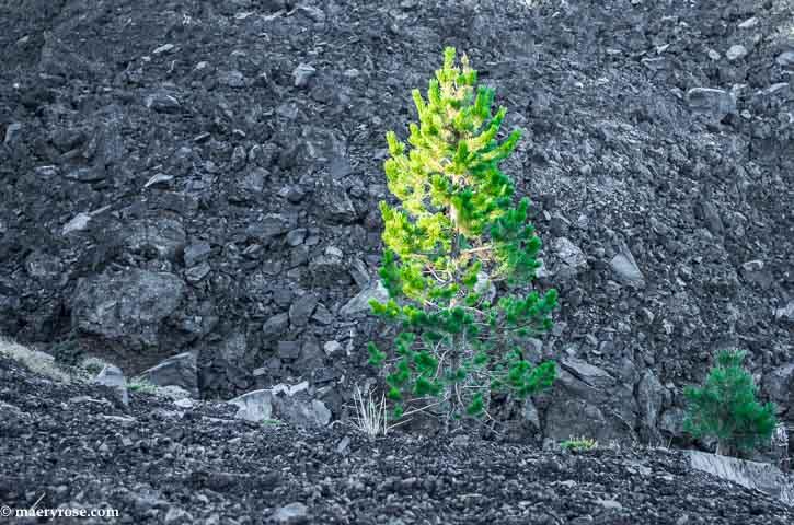 trees growing in lava field