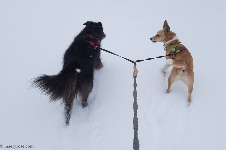 dogs walking in snow