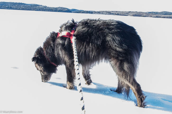 dog on Gunflint Lake
