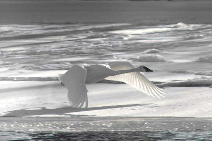 swan taking flight