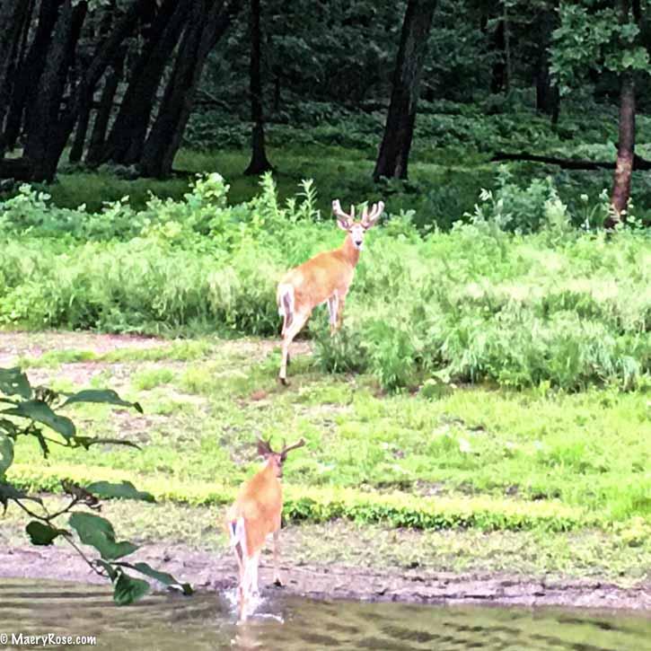 Bucks crossing Rum River