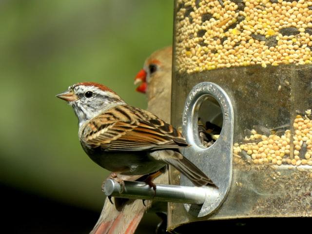 cardinal sparrow at bird feeder