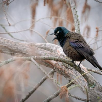 grackle in tree