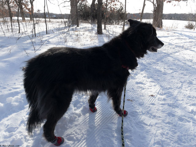 Java on walk in dog boots