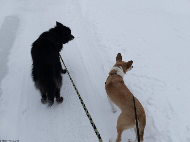 walking dogs in snow